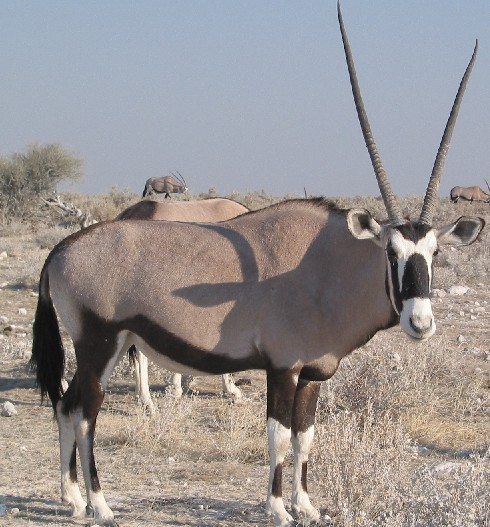 Coloring Animals (free for as many as you like) Gemsbok