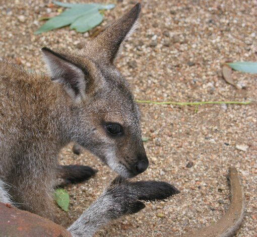 wallabyzoosydney2.jpg